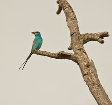 Abyssinian Roller In Gambia Stock Photos