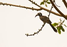 Free The African Grey Hornbill Stock Image - 18124161
