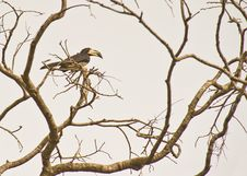 The African Pied Hornbill Royalty Free Stock Image
