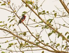 Free An Bearded Barbet In The Gambia Royalty Free Stock Image - 18124366