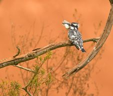 Free A Pied Kingfisher With It´s Prey Royalty Free Stock Photography - 18124777