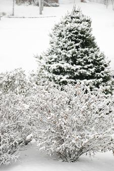 Free Snowy Trees Royalty Free Stock Images - 18124829