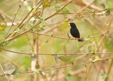 Free A Village Indigobird Royalty Free Stock Photography - 18124877