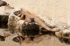 Free Iguana Royalty Free Stock Photos - 18126458