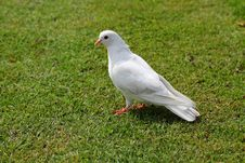 Free White Pigeon Royalty Free Stock Photography - 18127507