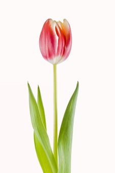 Free Tulip Royalty Free Stock Photography - 18127587