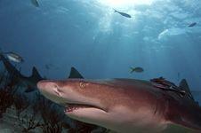 Lemon Shark Royalty Free Stock Photos