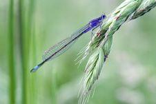 Free Blue Tailed Damselfly Stock Photos - 18129593