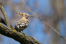 Hoopoe On A Tree Royalty Free Stock Photo