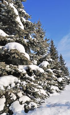 Free Fir Trees Under Snow Royalty Free Stock Images - 18131739