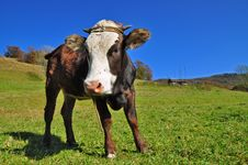 Free The Calf Stock Image - 18132271
