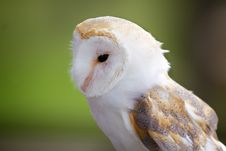 Free A Portrait Of A Barn Owl Stock Photography - 18132502