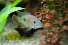 Free Aquarian Small Fish Stock Images - 18138254