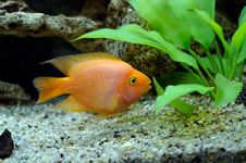 Free Aquarian Small Fish Red Parrot Stock Image - 18138271