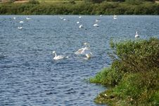 Free Swan Lake Myvatn Royalty Free Stock Photos - 18138278