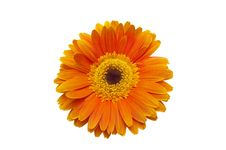 Free Flower Gerbera Royalty Free Stock Photo - 18139185