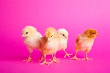 Free Easter Chickens On Pink Royalty Free Stock Photo - 18139235