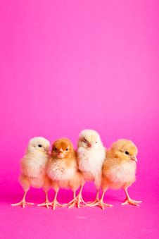 Free Easter Chickens On Pink Royalty Free Stock Photo - 18139295