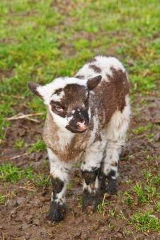 Free Lamb Stock Photography - 18139392
