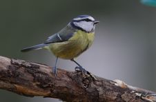A Bluetit. Stock Photo