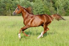 Free Chestnut Horse Runs Gallop Stock Photography - 18141952
