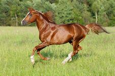 Chestnut Horse Runs Gallop Stock Photography