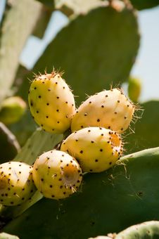 Free Fig Prickly Pear Stock Images - 18142434