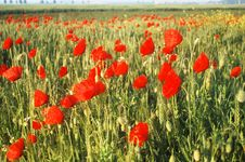 Free Red Poppy Meadow Royalty Free Stock Images - 18143859