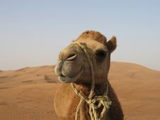 Free A Funny Camel In Desert Royalty Free Stock Images - 18144249