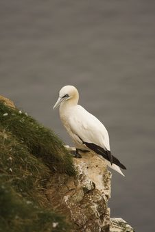 Free Gannet At Troup Head Stock Photography - 18145412