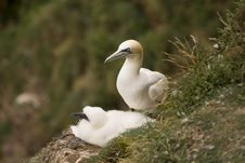 Free Gannet At Troup Head Stock Images - 18145464