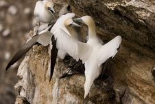 Free Gannet At Troup Head Stock Photo - 18145500