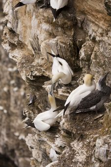 Free Gannet At Troup Head Stock Photography - 18145542