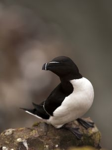 Razorbill At Fowlsheugh Stock Photography