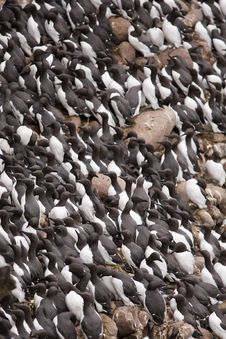 Free Guillemot At Fowlsheugh Stock Photo - 18145680
