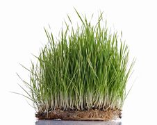 Green Wheat Sprouts Stock Photos