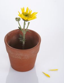 Free Yellow Flower In A Small Pot Royalty Free Stock Photos - 18145858