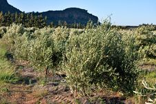 Free Olive Trees Stock Image - 18146001
