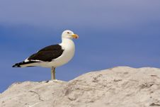Free Seagull Standing On Rock Royalty Free Stock Images - 18146369