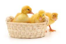 Free Ducklings In A Basket. Royalty Free Stock Photography - 18146457