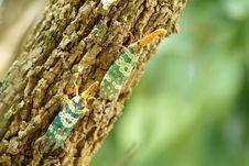 Free Cicada Royalty Free Stock Photos - 18146978