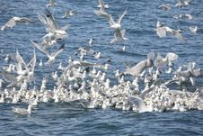 Free Flock Of Kittiwakes In Alaska Royalty Free Stock Photo - 18147315