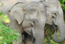 Free Elephant Pair In Sri Lanka S Yala National Park Stock Photography - 18151412