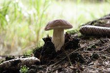 Free Forest Mushroom,cep,boletus Stock Images - 18152314