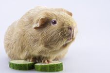 Free Cavy, Guinea Pig With Cucumber Slices Royalty Free Stock Photo - 18152365