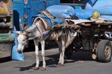 Free Mule Stock Image - 18154661