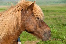 Free Icelandic Horse Stock Image - 18154801