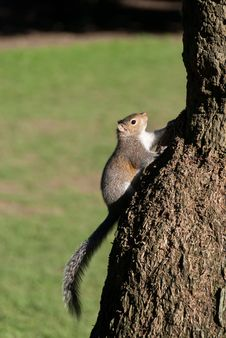 Free Squirrel Stock Images - 18154954