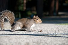 Free Squirrel Royalty Free Stock Images - 18154979