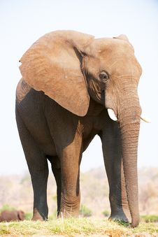 Free Large African Elephant Bull Royalty Free Stock Images - 18155549